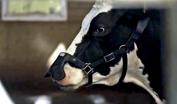 Zelp, una startup con sede en Reino Unido, desarrolla un dispositivo portátil que espera que reduzca las emisiones de metano del ganado hasta en un 60%.
