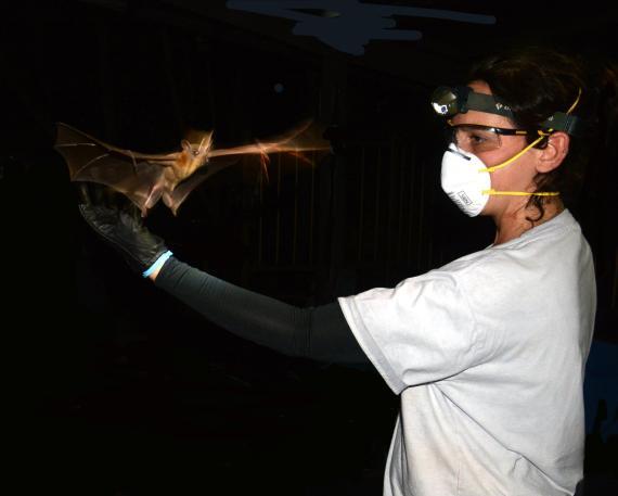 Una investigadora con una máscara facial protectora sostiene un murciélago.