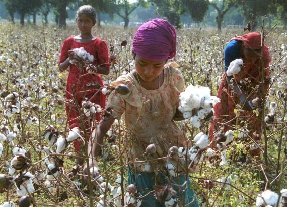 Una mujer recoge algodón en Dhaka, Bangladésh