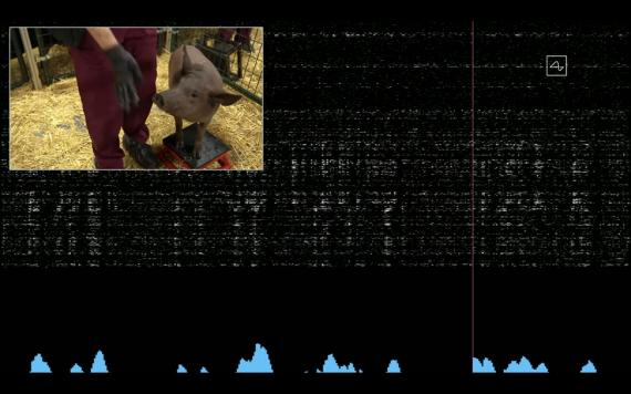 El chip cerebral de IA de Neuralink registra la actividad cerebral de un cerdo llamado Gertrude, quien lo lleva implantado en su cráneo desde hace 2 meses.