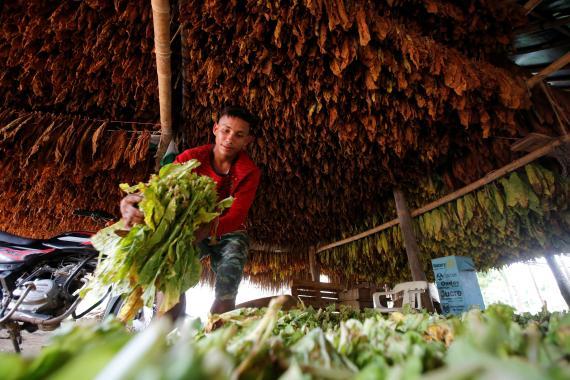 Plantación de tabaco en Sucre (Colombia)