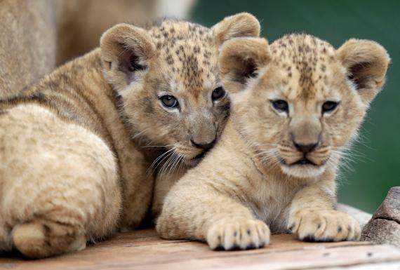 Crías de leones