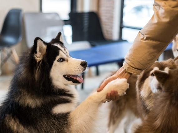 A husky puppy shakes hands with its owner. Shutterstock