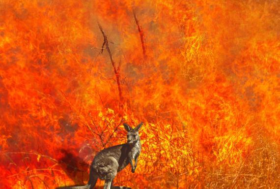 Canguro captado durante los incendios de Australia de 2020.