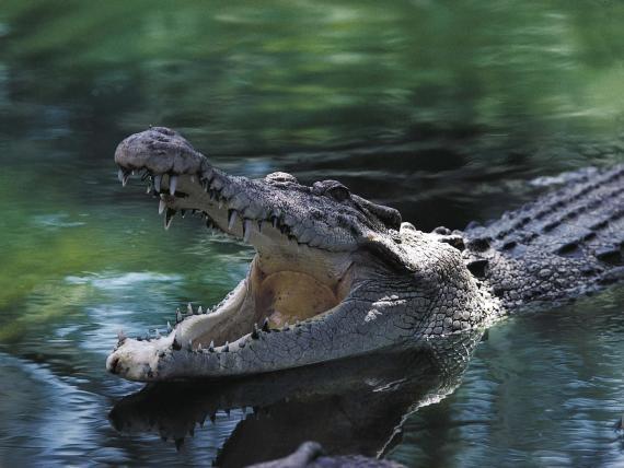 Encuentran restos humanos en un cocodrilo tras la desaparición de un hombre en Queensland (Australia).