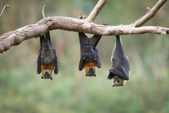 Murciélagos.