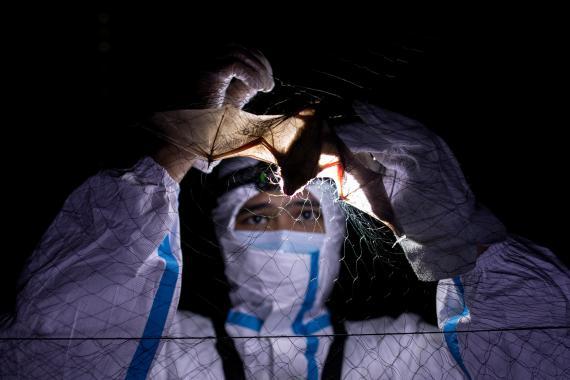 400.000 personas se infectan cada año con coronavirus transportados por murciélagos, sugiere un estudio, cuyos hallazgos podrían ayudar a prevenir futuras pandemias