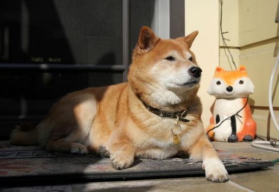 Un perro de la raza Shiba Inu.