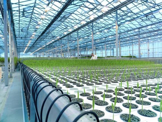 Plantas modificadas genéticamente