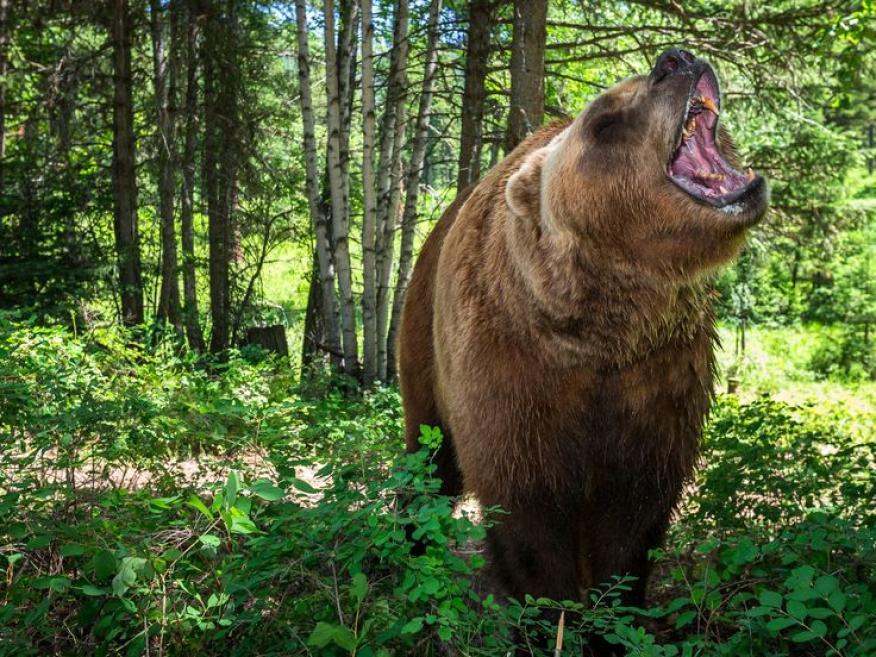 """""""Enfréntate al oso"""" es particularmente sorprendente la primera vez que los participantes se lo encuentran."""