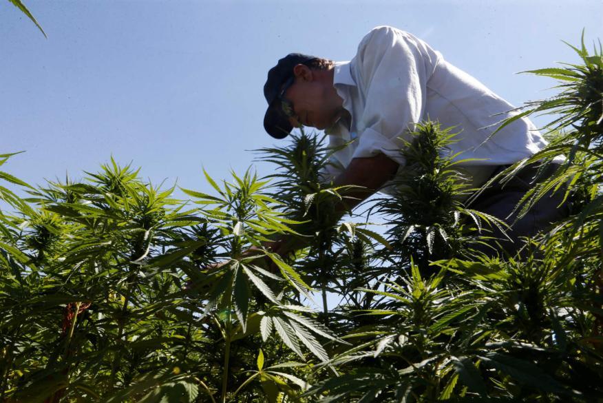 Una plantación de cannabis en Líbano.
