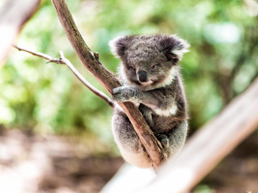 Según la Fundación Australiana de Koalas, no quedan más de 80.000 koalas en estado salvaje.