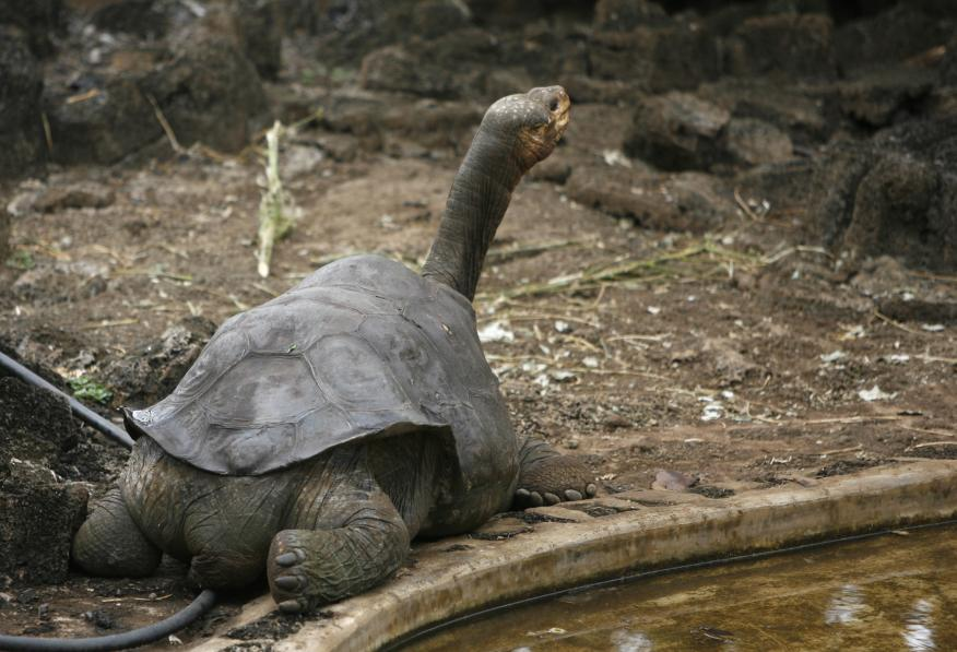 tortuga gigante Galápagos