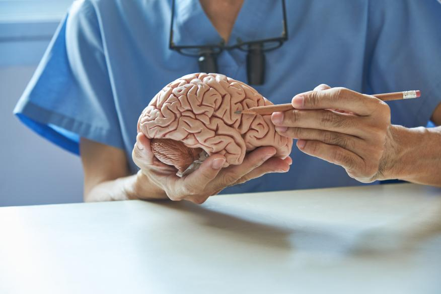 Médico con lápiz para demostrar la anatomía del modelo del cerebro