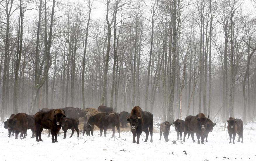 Bisontes en un vivero en la zona de exclusión alrededor del reactor nuclear de Chernobyl cerca de la aldea abandonada de Dronki, Bielorrusia, el 28 de enero de 2016.