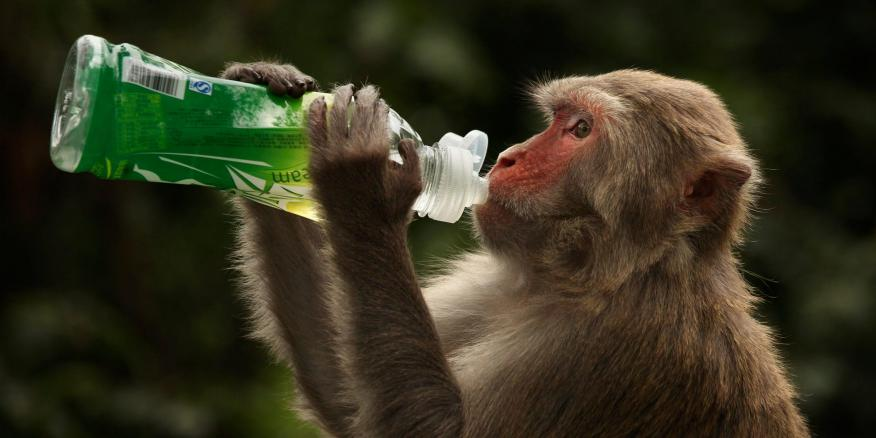 A rhesus macaque monkey in Hong Kong on April 30, 2011.