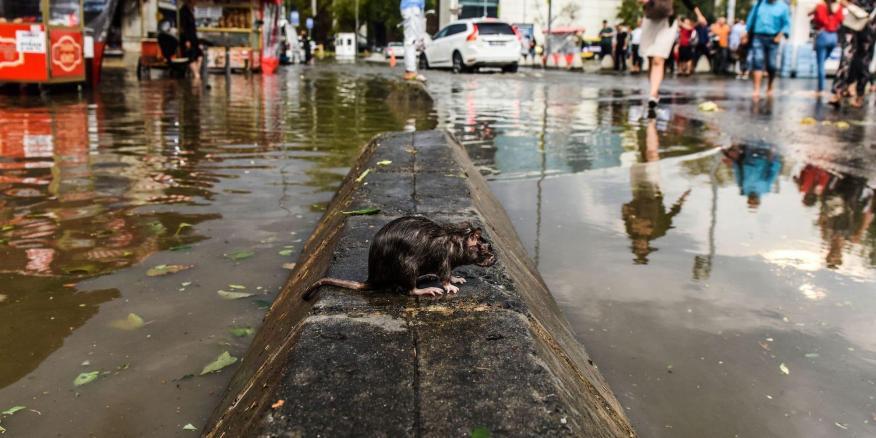 Ciertas enfermedades transmitidas por roedores están asociadas a las inundaciones, que se espera que aumenten con el incremento de las temperaturas en todo el mundo.