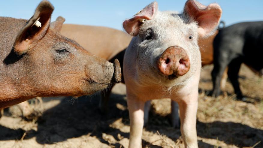 Cerdos de granja.