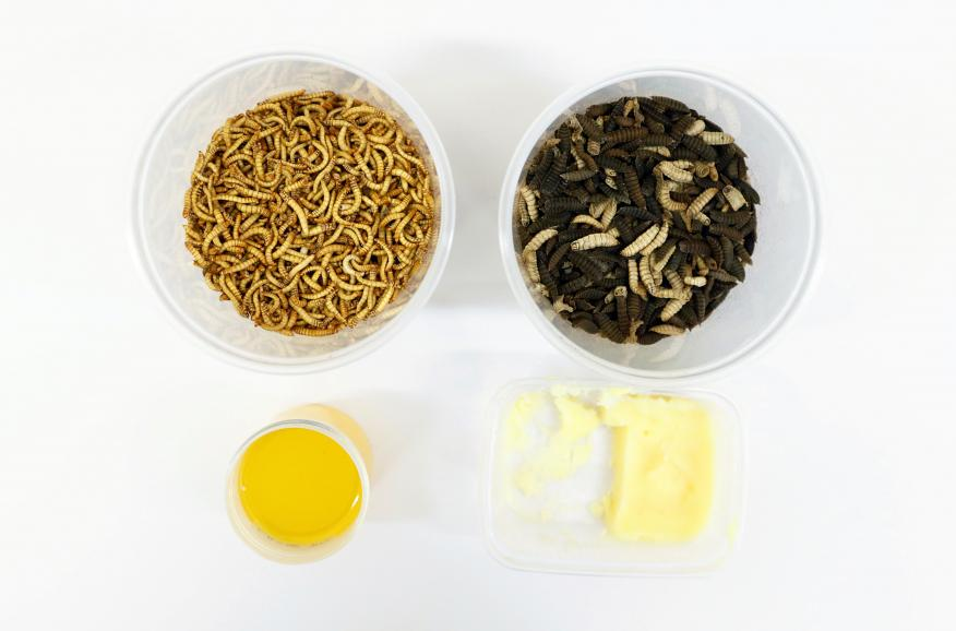 Gusanos amarillos de la harina y larvas de la mosca soldado negra, expuestos en la Universidad de Gante (Bélgica, en 2020).